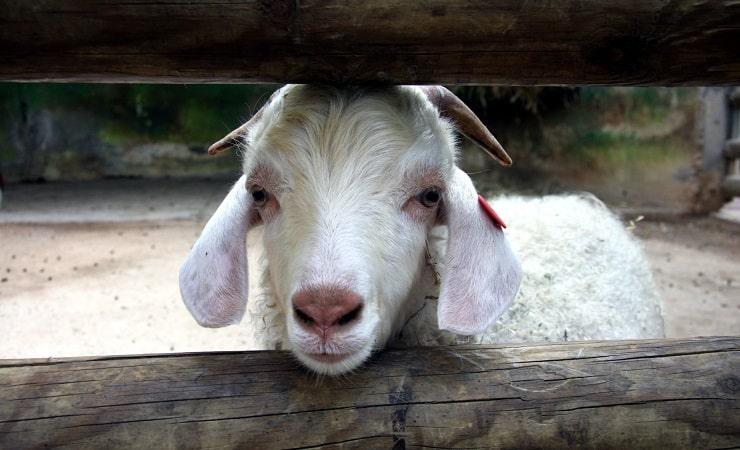 Screaming Goat Goes Vi... Katy Perry Firework Youtube