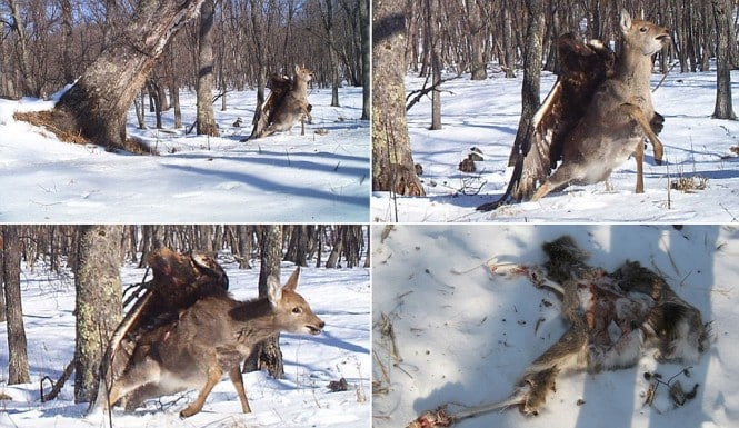 Featured image for Eagle Attacking Deer Photo Goes Viral