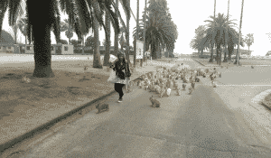 Rabbit Island Bunnies Chase Woman