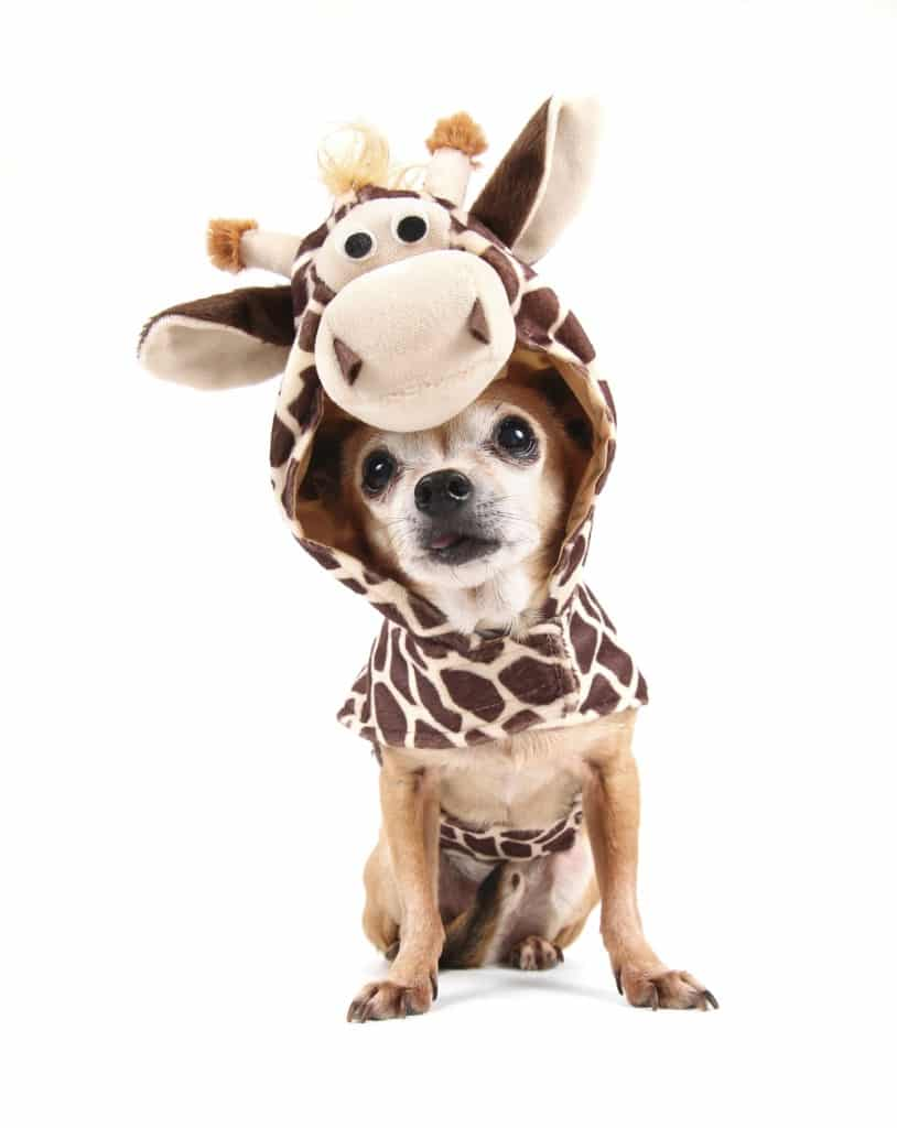 chihuahua giraffe top 5 adorable pet costumes this year s halloween 8803