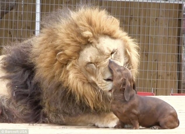 Featured image for Milo the Dachshund and Bonedigger the Lion Are Best Friends
