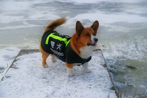 Is this the new face of the Russian K-9 police unit? Russian authorities are testing whether or not the humble, short-legged Welsh corgi could be cut out for bomb-sniffing duty.