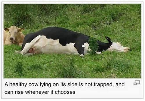 wiki-caption-cow