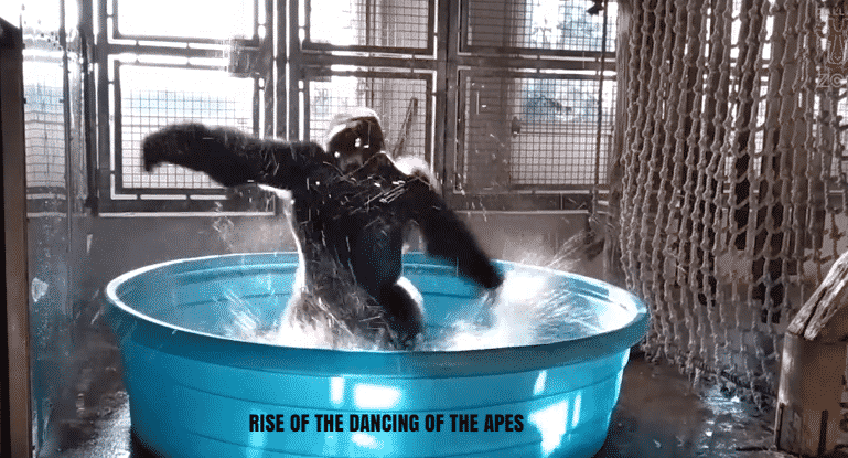 Featured image for Zola the Gorilla Has Some SICK Dance Moves
