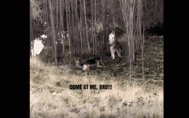 Featured image for Cop in Australia Breaks Up Epic Battle Between Dog and Kangaroo
