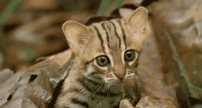Featured image for Tiniest Wild Cat Ever Will Make You Squee