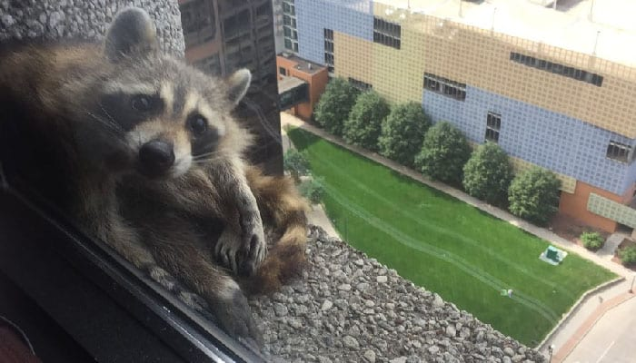 Featured image for Thrill-Seeking Raccoon Becomes International Star After Making it to the Top of a Skyscraper