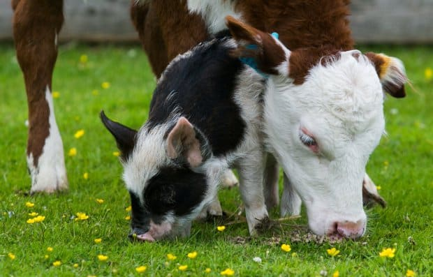 A Piglet and a Baby Cow Are Best Friends and it's the Cutest Thing Ever