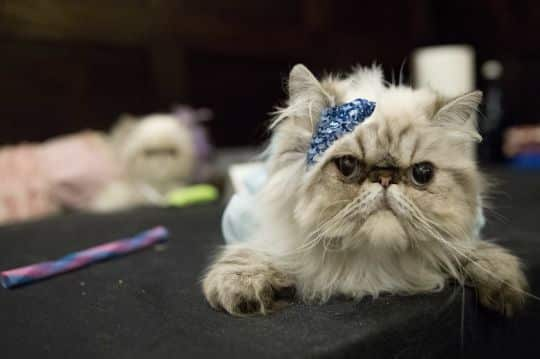 Watch These Feline Fashionistas Conquer the Cat Walk for Charity