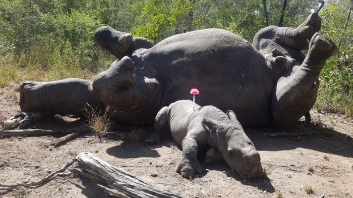 Featured image for Baby Rhino Still Coping After Witnessing His Mother Get Butchered By Poachers
