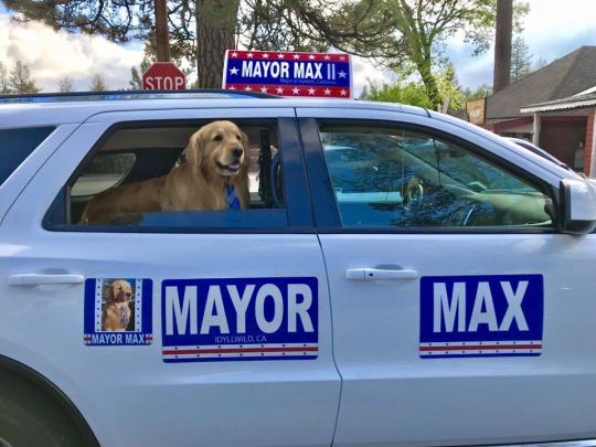 Everything's Golden: A Retriever Has Been Elected Mayor of a Town in California