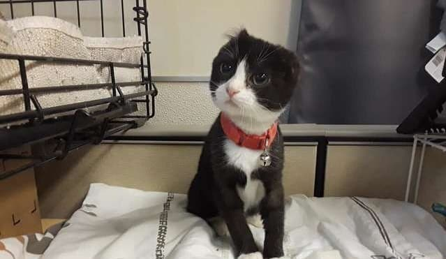 Featured image for Abused Kitten Has Ears Cut Off; So Foster Mom Knits Her New Ones