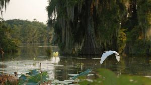 Lake_Martin_LA_USA_flying_bird_in_bayou
