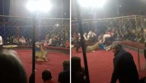 Horrifying Moment Four-Year-Old is Attacked by Circus Lion Caught on Camera