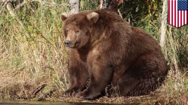 Featured image for Bear With Us: Mama Bear Wins Fattest Bear In America Award In Fat Bear Week