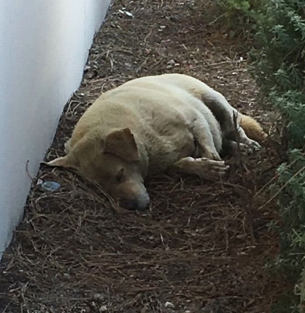 Lonely Labrador Dumped By His Family is Looking For a New Forever Home