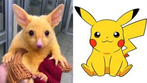 "Astonishingly Rare Mutated Gold Possum Nicknamed ""Real-Life Pikachu"""