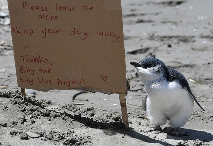 Featured image for PHOTO: Lone Abandoned Baby Penguin Experiences Good Side Of Humans