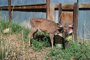 zombie-deer-disease