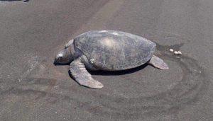 endangered-turtle