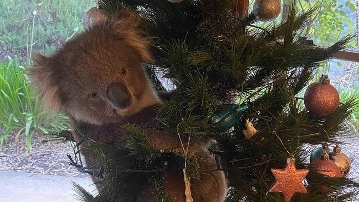 koala Christmas